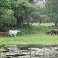 Photo Thumbnail #27: Cows with calves as seen from the Dock. Did I...