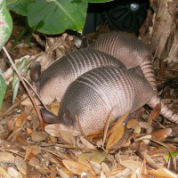 Photo Thumbnail #29: These armadillos live under our deck. They dig...