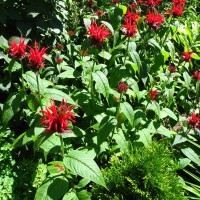 Photo Thumbnail #13: Bee Balm a must have for attracting...