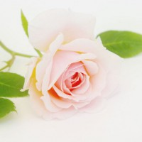 Photo Thumbnail #4: Quietness Rose