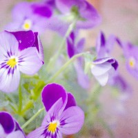 Photo Thumbnail #6: Violas