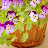 Photo Thumbnail #5: Violas
