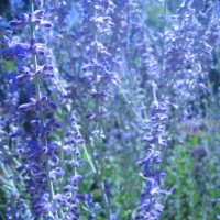 Photo Thumbnail #24: Russian Sage