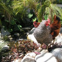 Photo Thumbnail #16: Chickens enjoy a drink