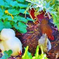 Photo Thumbnail #21: Chickens browse the veggie garden