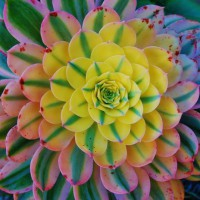 Photo Thumbnail #18: Aeonium 'Sunburst'