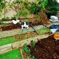 Photo Thumbnail #12: Chickens aerate my veggie beds