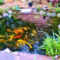 Photo Thumbnail #6: Koi pond