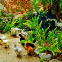Photo Thumbnail #14: Chickens meander along the stream bed