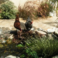 Photo Thumbnail #15: Chickens and waterfall