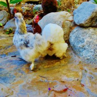 Photo Thumbnail #20: CHickens take a stroll