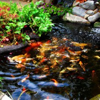 Photo Thumbnail #4: Koi pond with a floating veggietable island