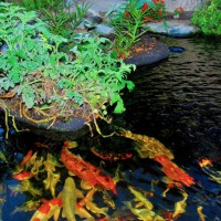 Photo Thumbnail #2: My Koi pond