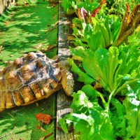 Photo Thumbnail #19: Winky the turtle has lunch.  His partner...