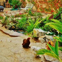 Photo Thumbnail #11: Chicken by the Koi Pond