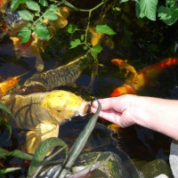 Photo Thumbnail #17: Feeding the Koi