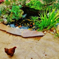 Photo Thumbnail #13: Chicken by the koi pond