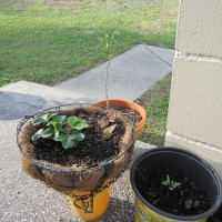 Photo Thumbnail #5: Strawberry plant getting some sun.