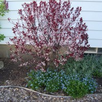 Photo Thumbnail #13: Sand cherry 2012