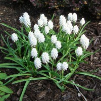 Photo Thumbnail #12: A white version of grape hyacinths . . .