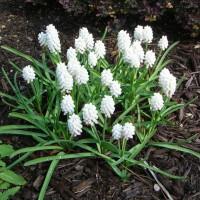 Photo Thumbnail #12: A white version of grape hyacinths . . .