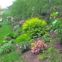 Photo Thumbnail #14: Azaleas beginning to bloom on the hill . . .