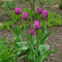Photo Thumbnail #8: I love the color of these tulips.  They're...