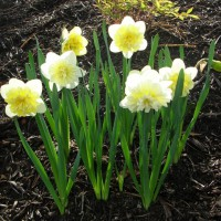 Photo Thumbnail #10: Narcissus 'Ice King' . . .