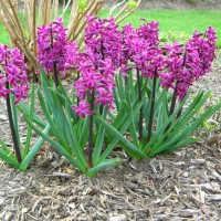 Photo Thumbnail #5: These hyacinths are the first to bloom in the...