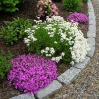 Photo Thumbnail #3: Ground phlox and iberis along the front path . . .