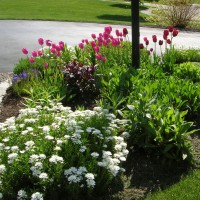 Photo Thumbnail #1: Tulips and iberis in the post-light garden . . .