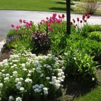 Photo Thumbnail #1: Tulips and iberis in the post-light garden . . .