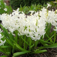 Photo Thumbnail #6: More hyacinths in the patio garden . . .