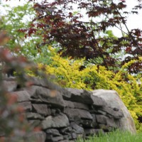 Photo Thumbnail #8: Barberries on rock wall