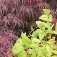 Photo Thumbnail #5: Firepower Nandinas with Jap Maples
