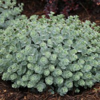 "Photo Thumbnail #4: Sedums ""all grown up"""