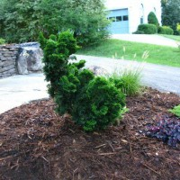 Photo Thumbnail #26: Our dwarf Hinoki cypress the kids call the...