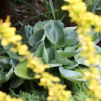 Photo Thumbnail #6: Golden Barberry with hosta (under bloodgood maple)