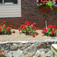 Photo Thumbnail #2: Red geraniums