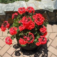 Photo Thumbnail #1: Coral geranium