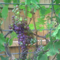Photo Thumbnail #2: Aug 2009. Champagne grapes. :)