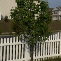 Photo Thumbnail #11: The Cleveland pear tree in the corner,...