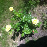 Photo Thumbnail #1: We were given 9 long stem rose bushes and...
