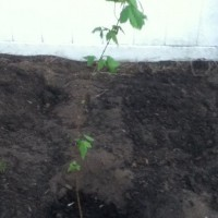 Photo Thumbnail #4: This is my Trident Maple Tree. I 'won' it on...