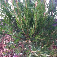 Photo Thumbnail #12: Added two Bottle Brush trees. My grandmother...