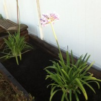 Photo Thumbnail #20: Freshly planted Agapanthus in one of the wooden...
