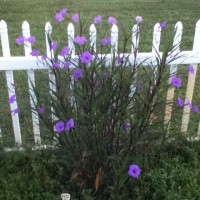 Photo Thumbnail #8: The Mexican Petunias I planted a few years ago...