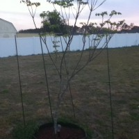 Photo Thumbnail #2: This is Chinaberry Tree #1. I had been growing...