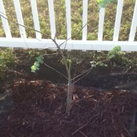 Photo Thumbnail #13: I planted a Eucalyptus Tree- it's supposed to...