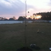 Photo Thumbnail #3: This is the 2nd Chinaberry Tree we planted. It...